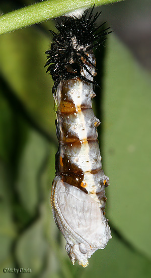 larval head and skin has peeled back to