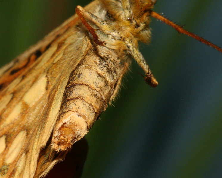 tip of female's abdomen