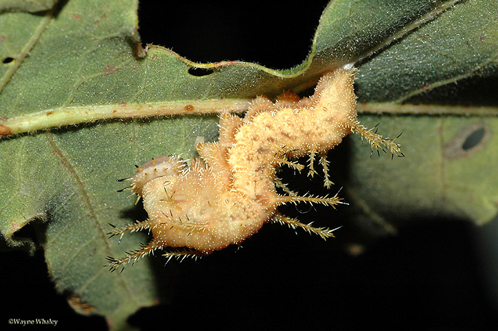 mature 5th instar preparing to pupate