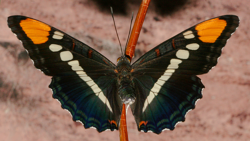 posed photo of live butterfly #1