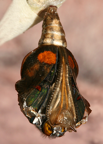 #2 emerging from pupa