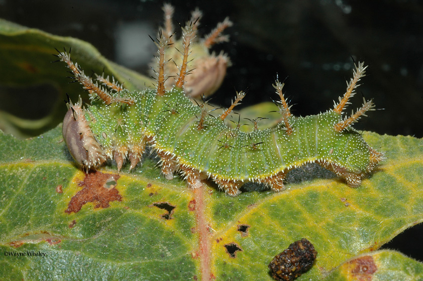 4th instar larva photo by Wayne Whaley