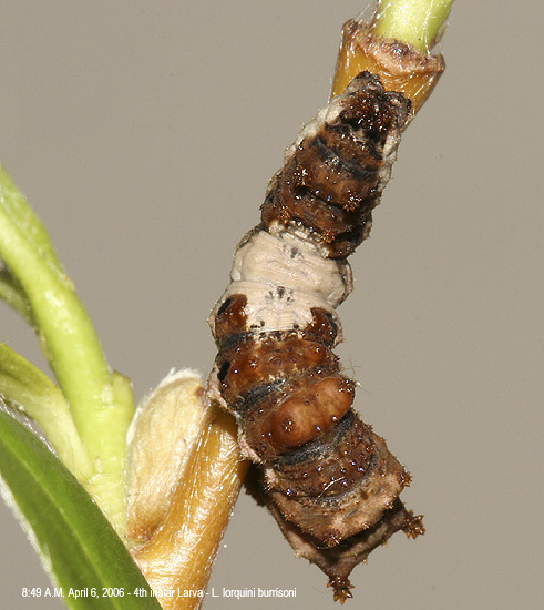 dorsal view of larva on April 6th
