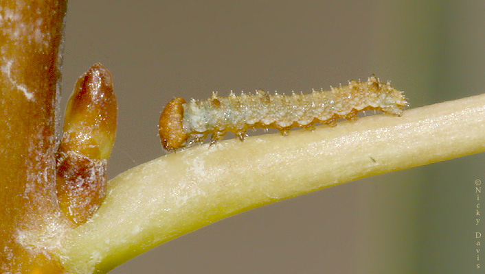 larva just eclosed from ova this morning - July 14,