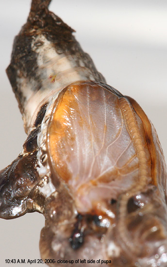 left side of pupa