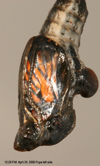 Pupa from left side