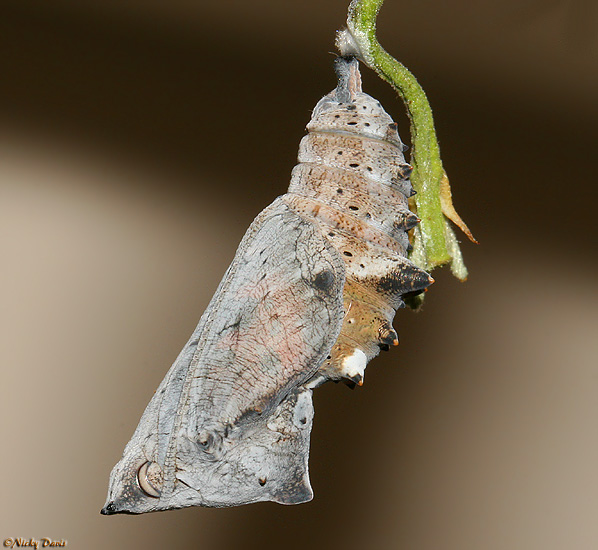 pupa showing development on the day the butterfly emerged