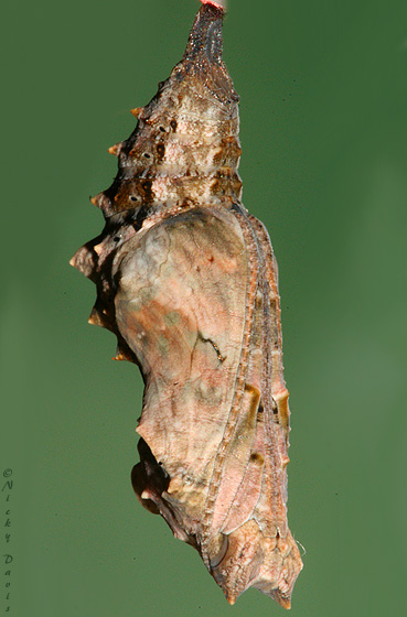 pupa on the evening before butterfly