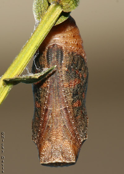 Pupa on the evening prior to eclosure