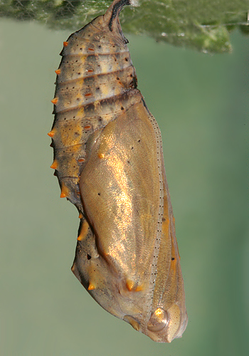 #1 pupa on same day it formed a pupa