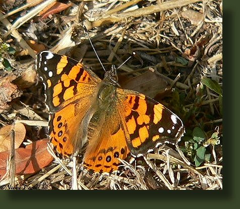 square-tipped forewing has orange bar in costal margin. Painted lady doesn't have the orange bar