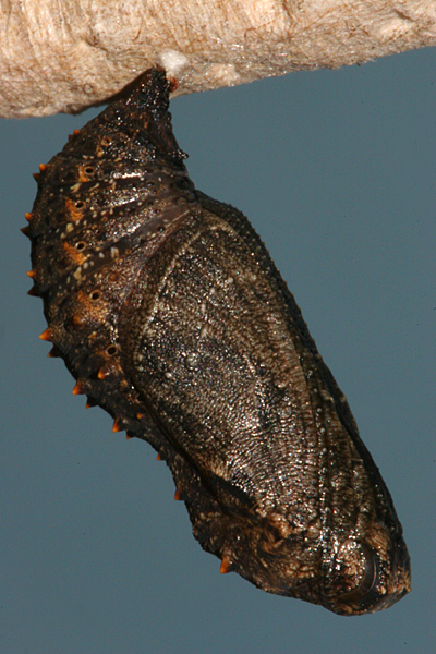 Pupa formed 24 March 2011