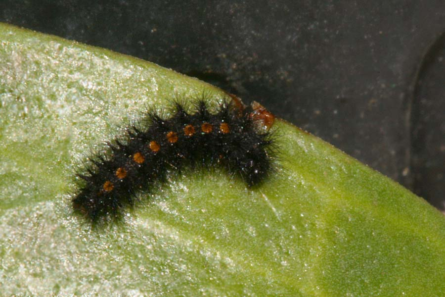 3rd instar after hibernation
