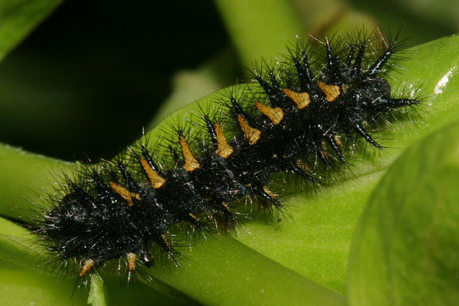 Young 5th instar