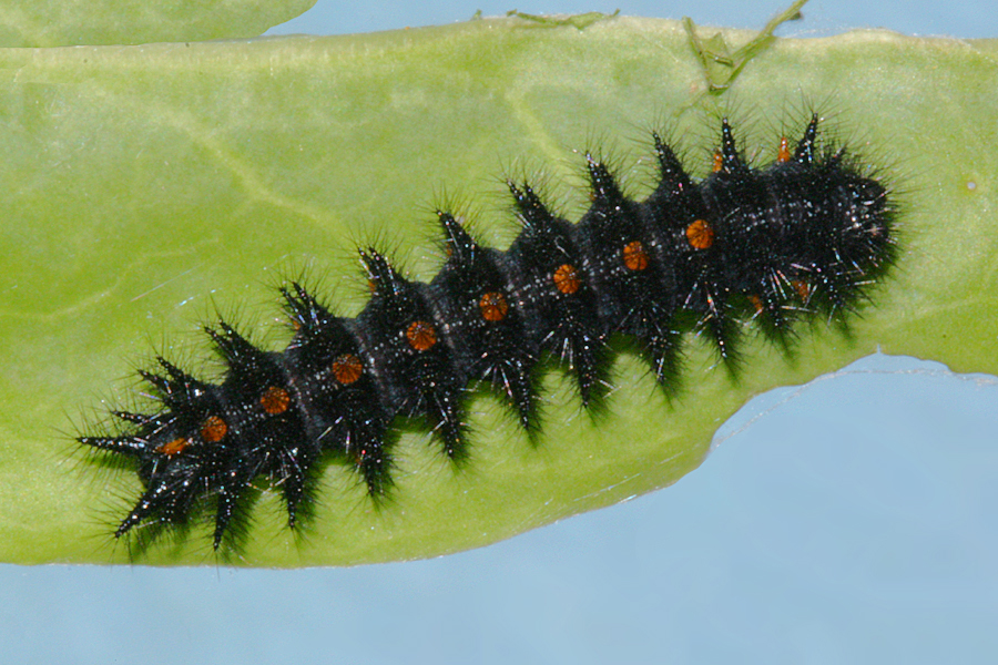 4th instar on 13 May 2012