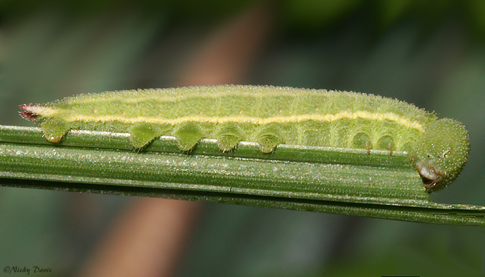 #1 larva molted to 5th on Oct. 4th - Photo on Oct. 5th.