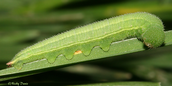 5th instar, lateral