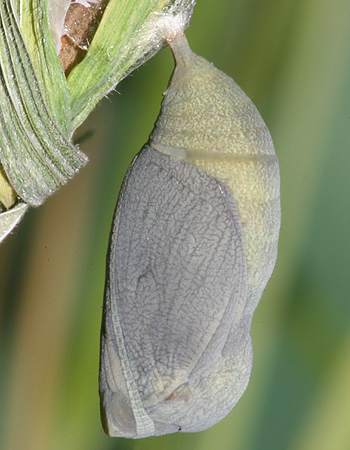 #6 pupa on December 18th, one day before butterfly emerged