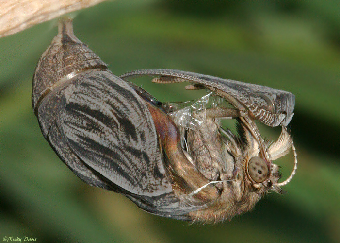 adult emerging from pupa