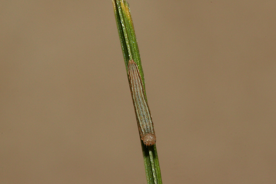 Second instar dorsal view