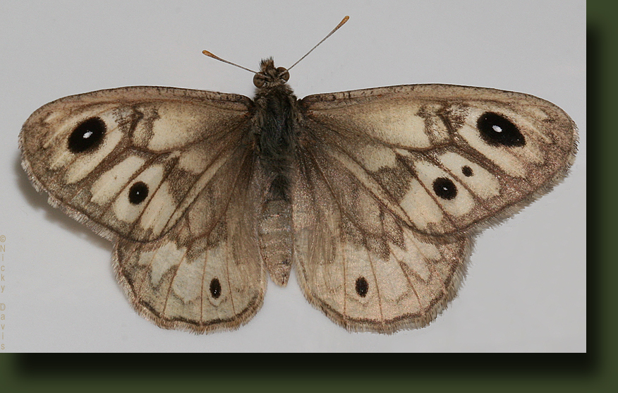Male Ridings' Satyr stretchi, Dorsal