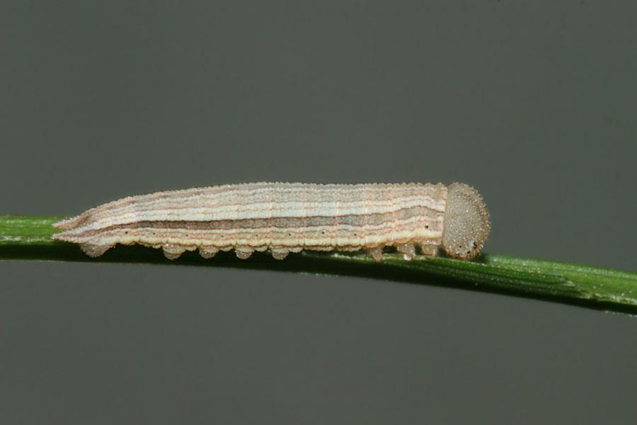 Third Instar - 10 mm - 15 July 2012