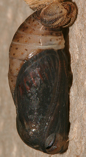 developed pupa