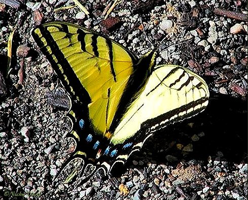 Upper surface of male  forewing yellow with narrow black stripes. Female deeper yellow or orange with wider black stripes and more iridescent blue on hindwing.  Each hindwing has 2 tails