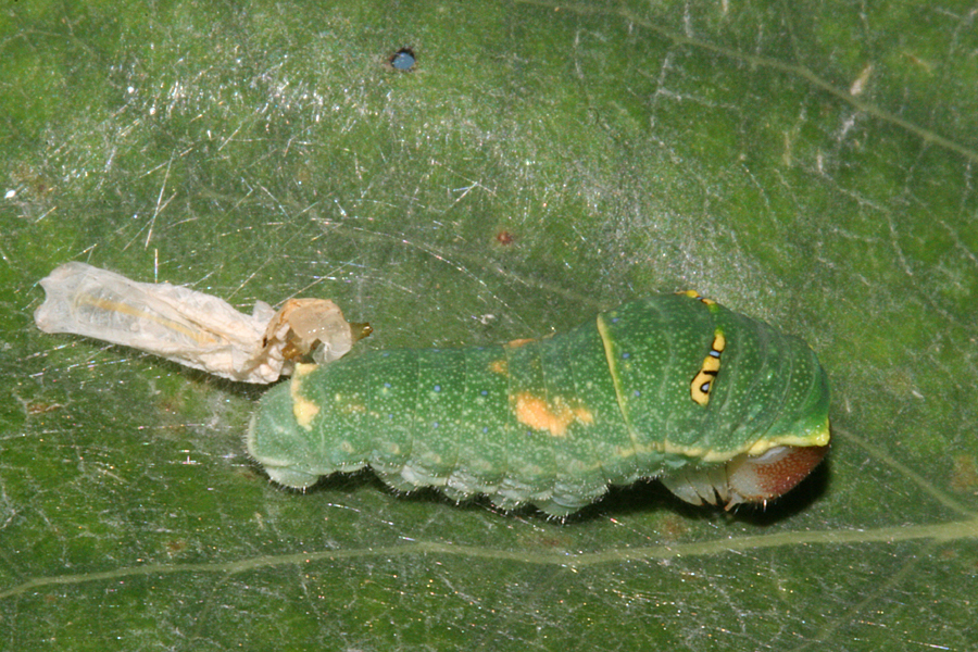 molted to third instar