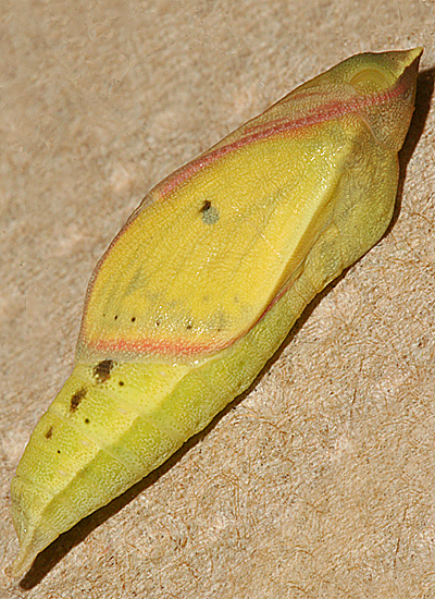 #1 13/16 inch Female pupa showing wing color 1 June 2009