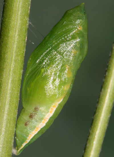#2 pupa formed 24 May 2009