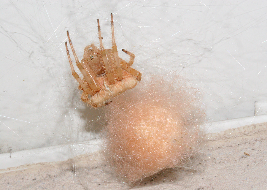 Cat Spider with egg sac