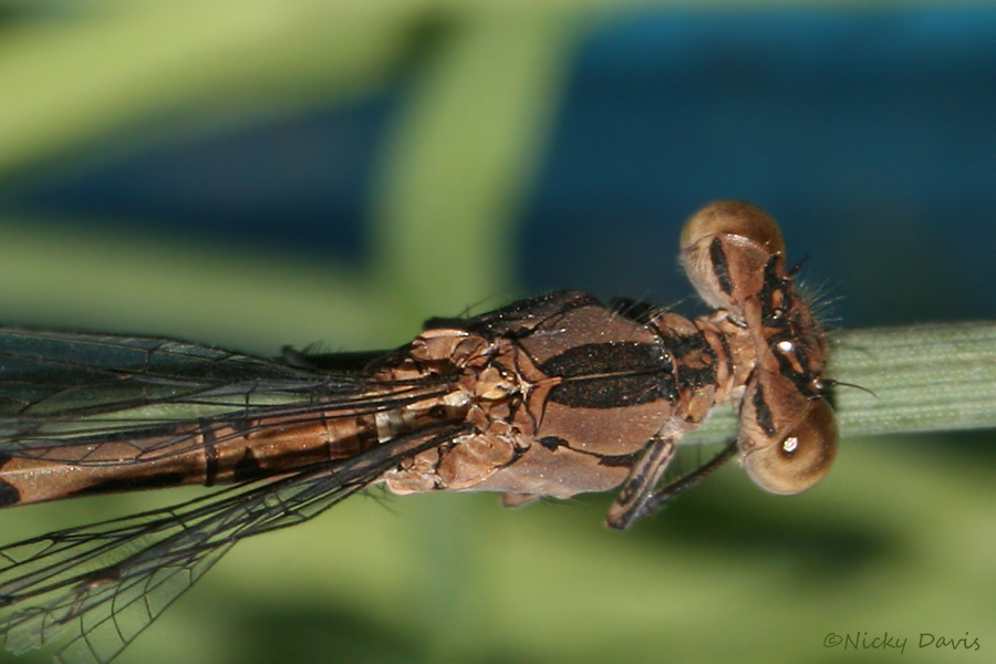 female thorax