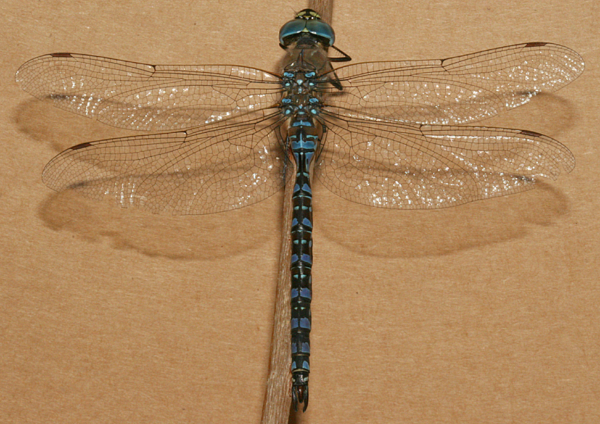 full view of male darner