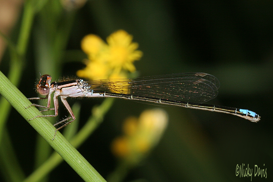 Black-fronted Forktail, female