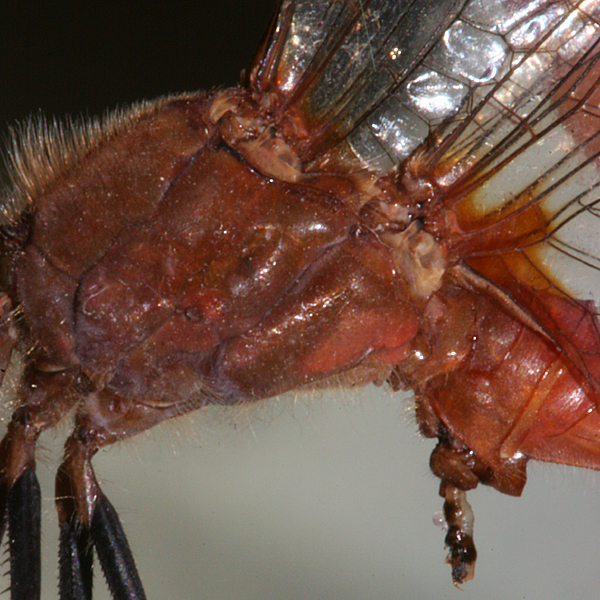 close-up of lateral view of thorax