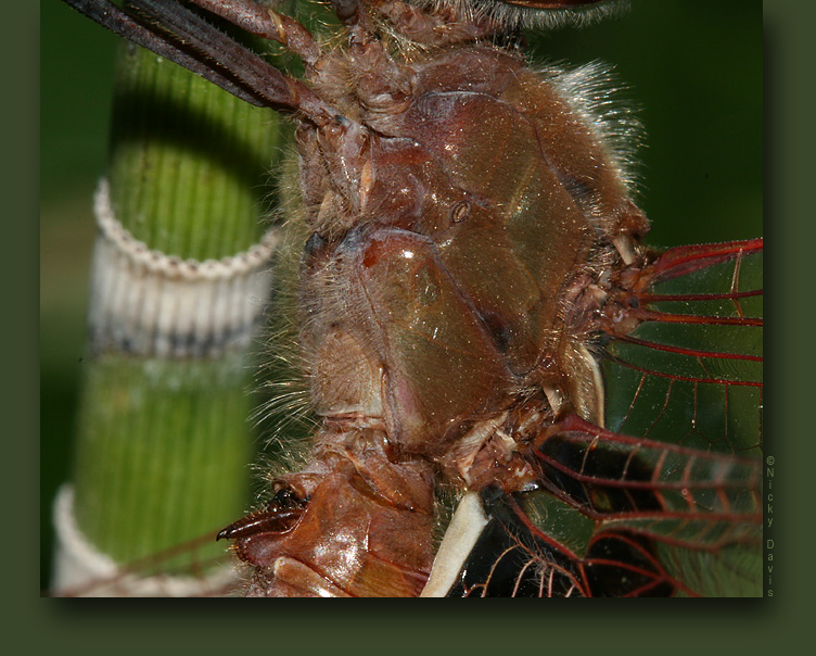 Red Saddlebags, male, thorax and genitalia