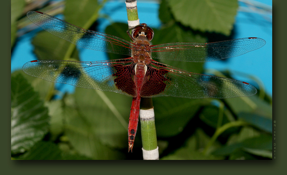 Red Saddlebags, Male