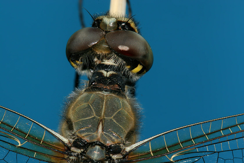top of head and thorax