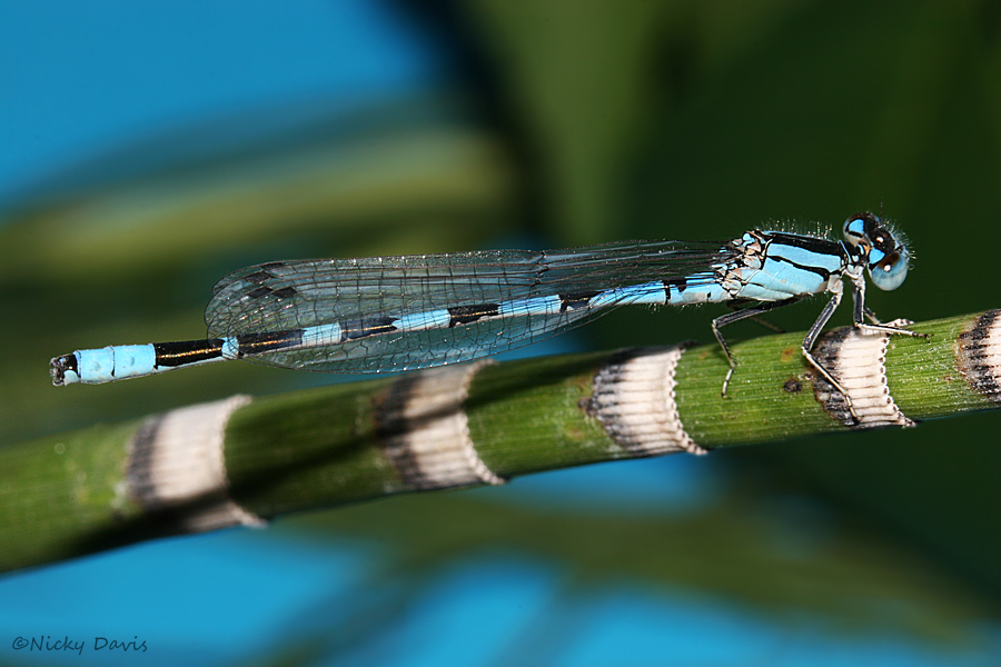 male Alkali Bluet