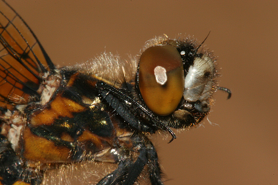 side view of head and thorax