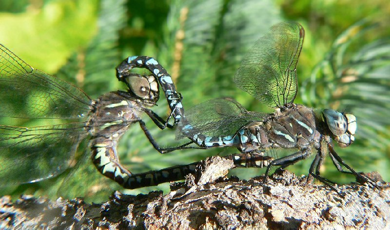 Possibly Variable Darner