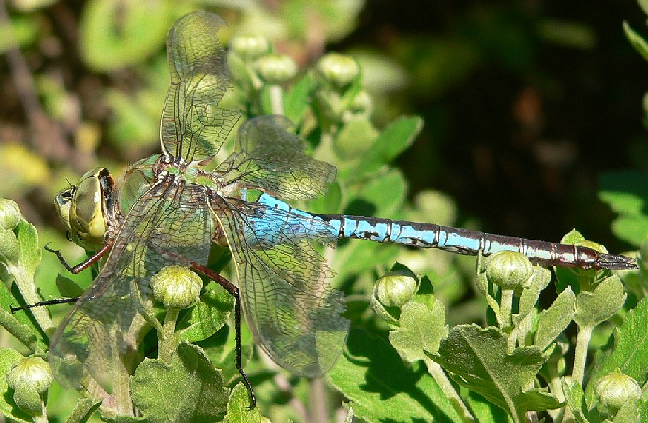 Male Common Green Darner