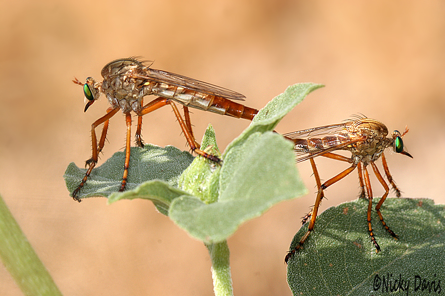 mating pair of Diogmites angustipennis