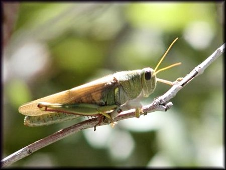 Grasshopper, Orthoptera-further identification pending, ©Nicky Davis
