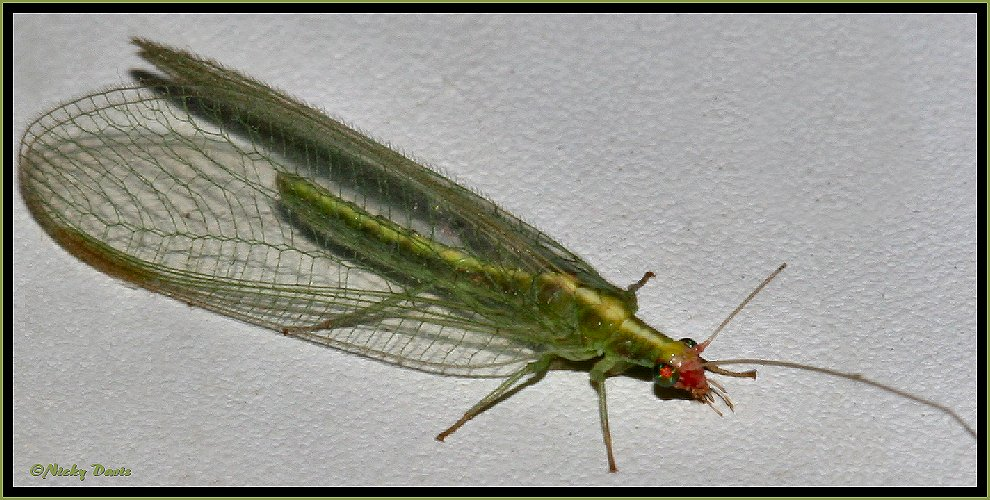 Green Lacywing