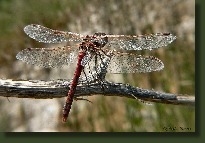 old male Variegated Meadowhawk