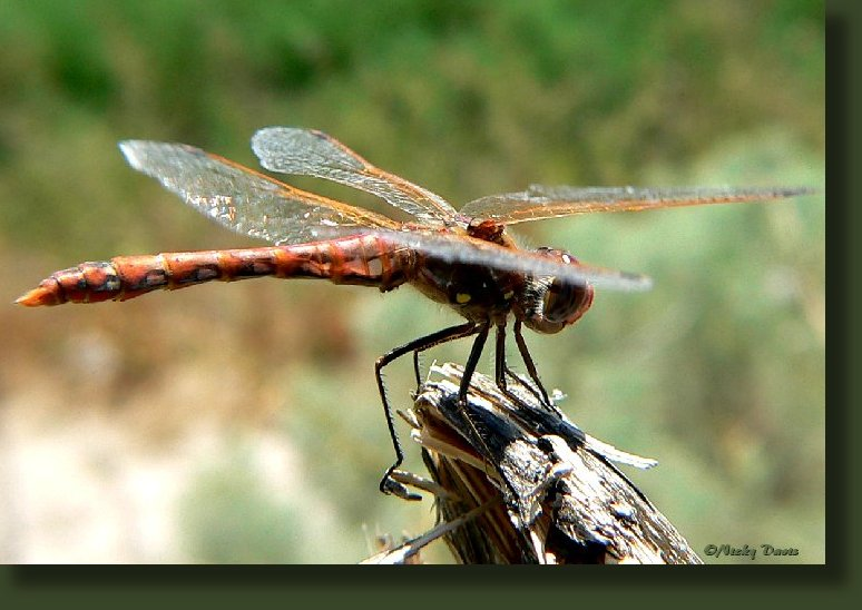 "A small to medium-sized dragonfly (but large for this genus) with a length of 1 5/8 to 1 11/16 inches (39 to 42 mm). The abdomen is quite slender. Mature males have a base color of dark brownish black. Each side of the thorax may be marked with a pair of yellow spots. The abdomen is marked with an eye-catching pattern of red, pink, and golden brown. The leading edges of the wings have pinkish wing veins. Mature females are marked similarly but with less red. Immature males and females are much paler in color and are mottled with pale green, pale yellow, golden brown, and orange. The leading edges of the wings have brownish or ""regular"" (non-colored) veins."