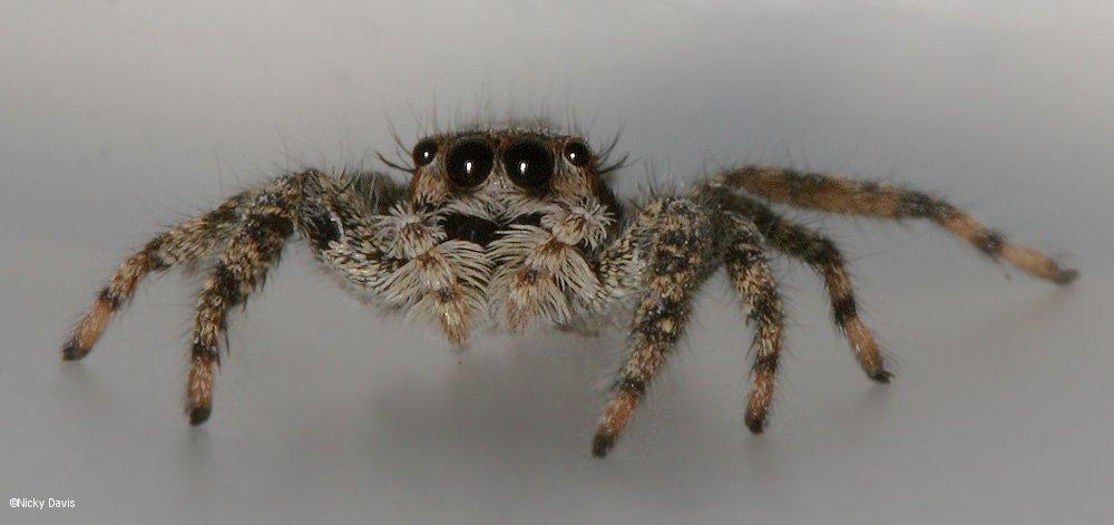 Spider Photos Salticidae Platycryptus Undatus Or Californicus