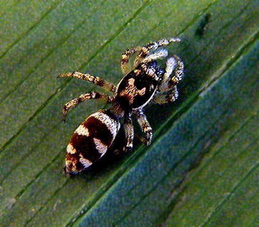 Zebra Jumping Spider, Araneae Salticus scenicus, July